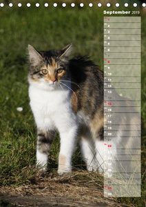 Hauskatzen (Tischkalender 2019 DIN A5 hoch)
