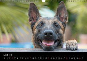 Belgischer Schäferhund - Der Malinois