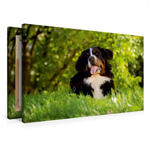 Premium Textil-Leinwand 75 cm x 50 cm quer Berner Sennenhund