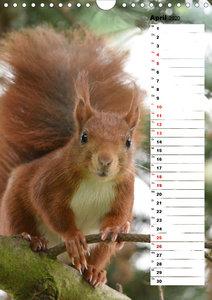 Eichhörnchen - kleine Tiere, große Liebe (Wandkalender 2020 DIN