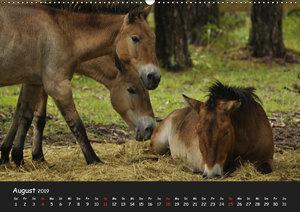 Przewalskipferde (Wandkalender 2019 DIN A2 quer)