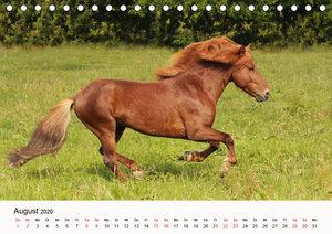 Isländer - icelandic horses