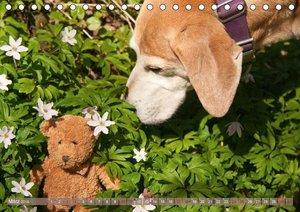 Liebenswerte Freunde - Azawakh-Ridgeback mit Teddys