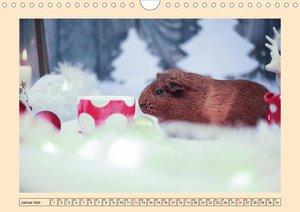 Meerschweinchen 2020, kleine Herzensbrecher (Wandkalender 2020 D