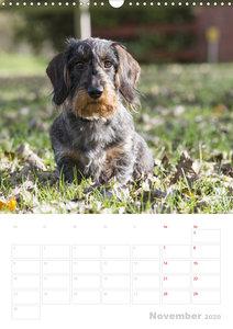 Der Dackel (M)ein treuer Weggefährte (Wandkalender 2020 DIN A3 h