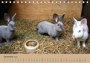 Rex - Kaninchen