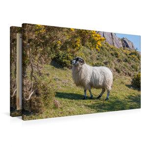 Premium Textil-Leinwand 90 cm x 60 cm quer Schaf an am Abhang