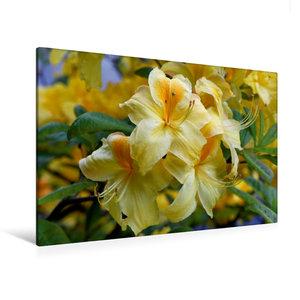 Premium Textil-Leinwand 120 cm x 80 cm quer Gelber Rhododendron