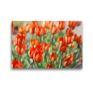 Premium Textil-Leinwand 45 cm x 30 cm quer Tulipa whittallii ode