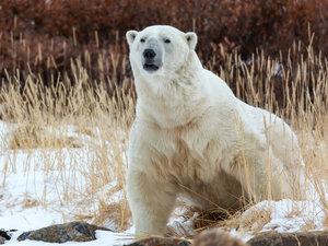 CALVENDO Puzzle Eisbär in der Tundra 1000 Teile Lege-Größe 64 x