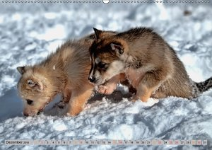 Huskies - Schlittenhunde