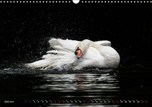 Das Morgenbad des Höckerschwans