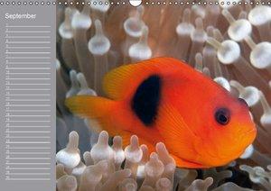 Clownfisch Geburtstagskalender (Wandkalender immerwährend DIN A3