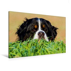 Premium Textil-Leinwand 120 cm x 80 cm quer Berner Sennenhund -
