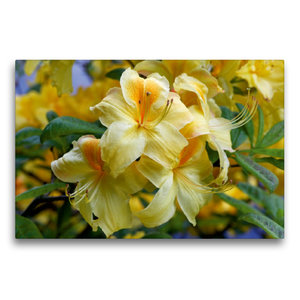 Premium Textil-Leinwand 75 cm x 50 cm quer Gelber Rhododendron