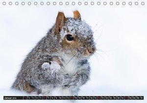 EICHHÖRNCHEN (Tischkalender 2019 DIN A5 quer)