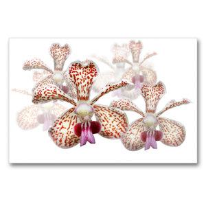 Premium Textil-Leinwand 90 cm x 60 cm quer Vanda besonii Orchide