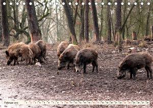 Wildschweine - Tiere aus unseren Wäldern (Tischkalender 2019 DIN
