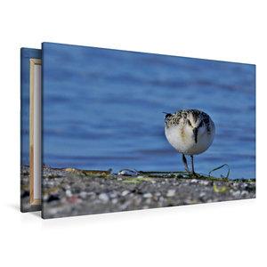 Premium Textil-Leinwand 120 cm x 80 cm quer Sanderling (Calidris