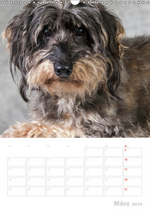 Der Dackel - mein kleiner Freund (Wandkalender 2019 DIN A3 hoch)