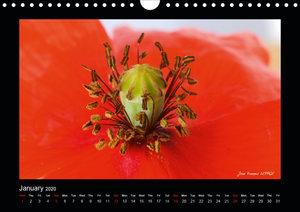 Poppies of my heart (Wall Calendar 2020 DIN A4 Landscape)