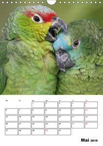 Papageien - Graupapagei, Rosella und Co. (Wandkalender 2019 DIN
