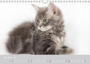 Amazing Ragdoll Kittens (Wall Calendar 2015 DIN A4 Landscape)