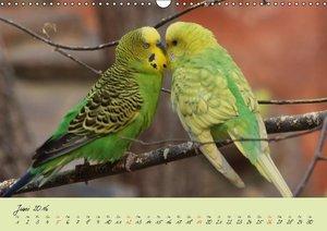 Wellensittiche - Gefiederte Freunde (Wandkalender 2016 DIN A3 qu