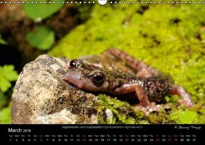 Newts & Salamanders / UK-Version (Wall Calendar 2016 DIN A3 Land