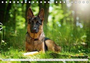 Deutscher Schäferhund Yack - Auf dem Weg zum Teenager (Tischkale