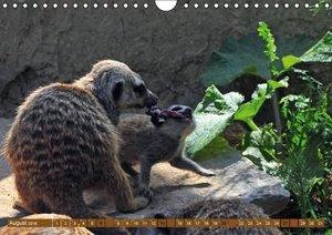 Erdmännchens Kinderstube (Wandkalender 2016 DIN A4 quer)