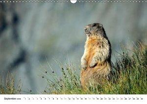 Murmeltiere in den Alpen (Wandkalender 2016 DIN A3 quer)