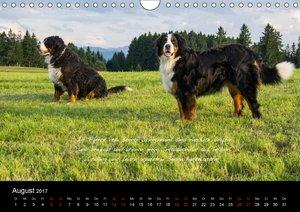 So ist er. Der Berner Sennenhund (Wandkalender 2017 DIN A4 quer)