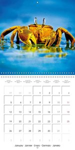 Crabs - solitary crawlers (Wall Calendar 2015 300 × 300 mm Squar