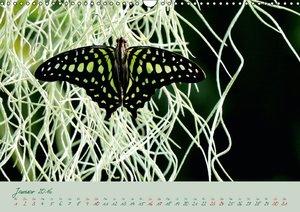 Edelfalter - 2 - (Wandkalender 2016 DIN A3 quer)