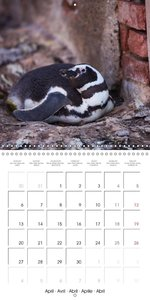 Penguins in South Patagonia (Wall Calendar 2015 300 × 300 mm Squ