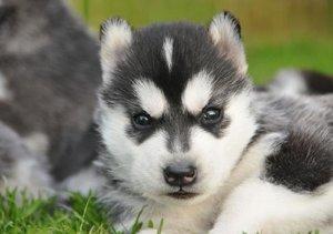 Husky Schönheiten (Tischaufsteller DIN A5 quer)