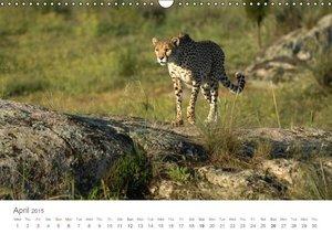 Cheetahs fascinating big cats (Wall Calendar 2015 DIN A3 Landsca