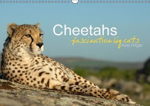 Cheetahs fascinating big cats (Wall Calendar 2015 DIN A3 Landsca