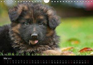 Schiller, P: Deutscher Schäferhund - Welpen (Wandkalender 20