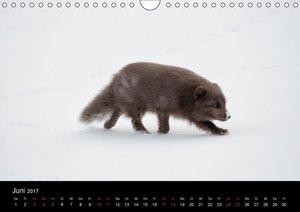 Polarfuchsstudien Wildlife (Wandkalender 2017 DIN A4 quer)