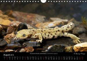 Newts & Salamanders / UK-Version (Wall Calendar 2015 DIN A4 Land