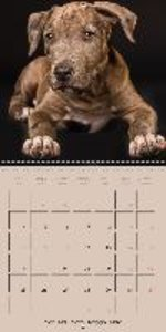 Pit Bulls and Co. (Wall Calendar 2015 300 × 300 mm Square)