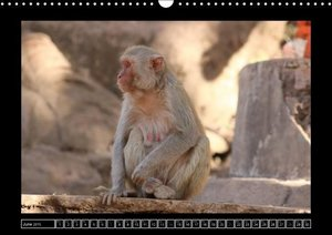 Rhesus Monkeys Part B / UK-Version (Wall Calendar 2015 DIN A3 La