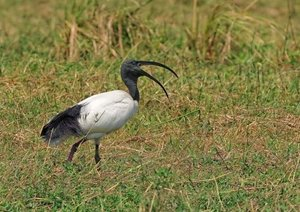 Vogelwelten am Chobe (Posterbuch DIN A2 quer)