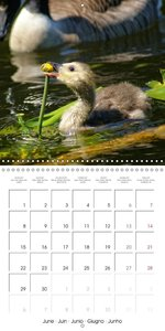 Waterfowl Birds and Water (Wall Calendar 2015 300 × 300 mm Squar