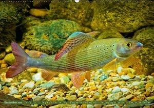 Von Aal bis Zander: Fische in europäischen Gewässern (Wandkalend
