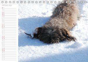 Rauhaardackel Motte & Friends (Tischkalender 2020 DIN A5 quer)