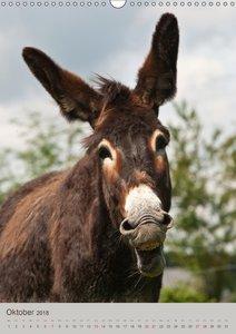 Lustige Esel - Langohren im Porträt
