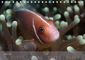 Anemonenfische - Streitbare Gesellen